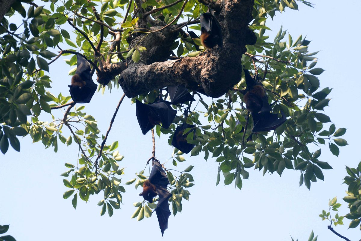 Flying foxes (pteropus vampyrus) hang on the branches of a tree at a garden in Amritsar on September 7, 2017. / AFP PHOTO / NARINDER NANU        (Photo credit should read NARINDER NANU/AFP via Getty Images)