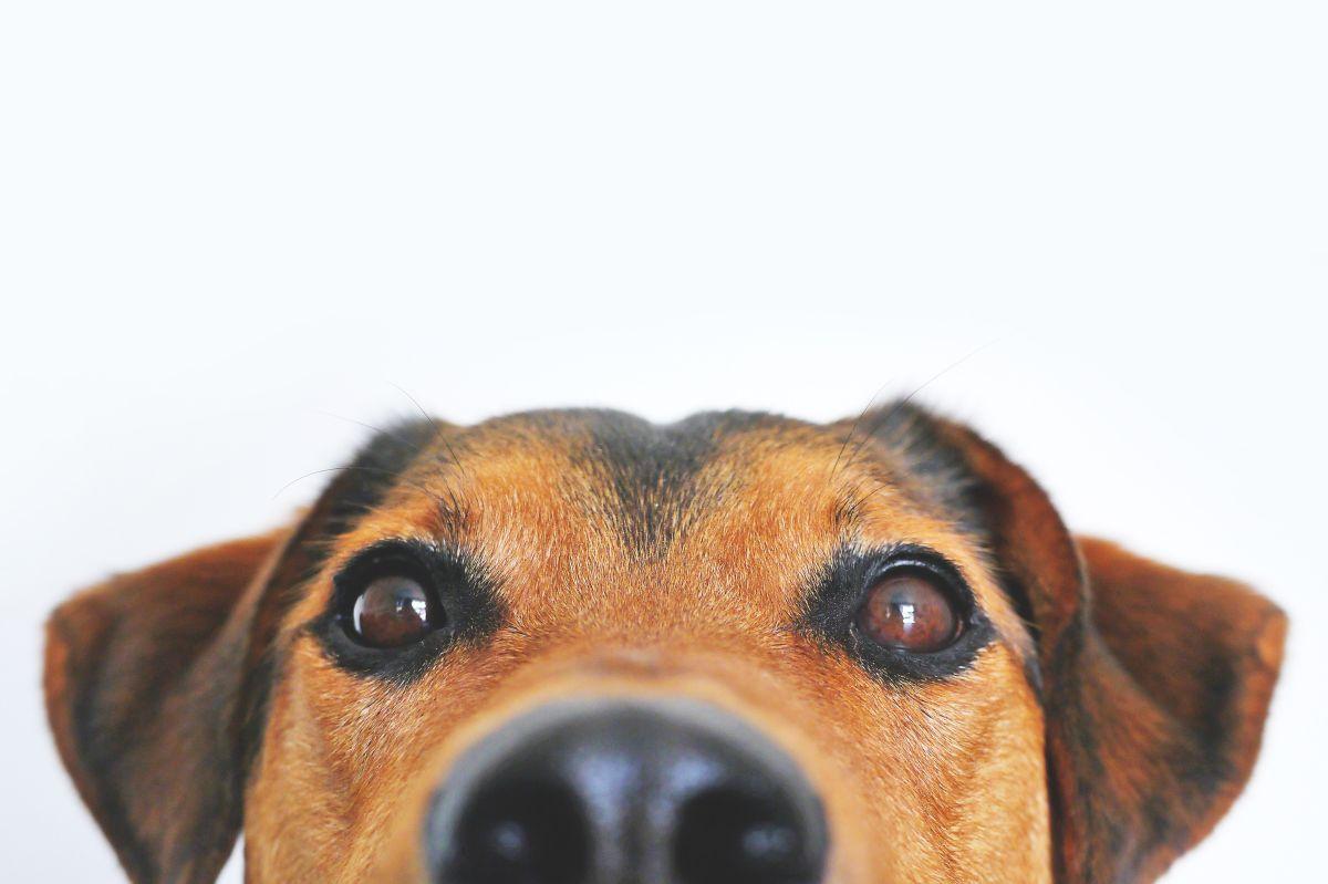 El misterio de las narices frías de los perros ha sido resuelto.