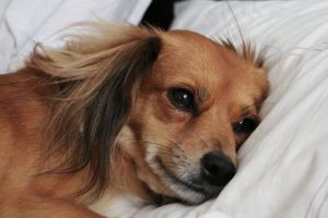 Las razones por las que un perro padece insomnio y cómo solucionarlo