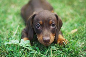 Rolo, el perro que se fracturó la cola por moverla mucho en la cuarentena