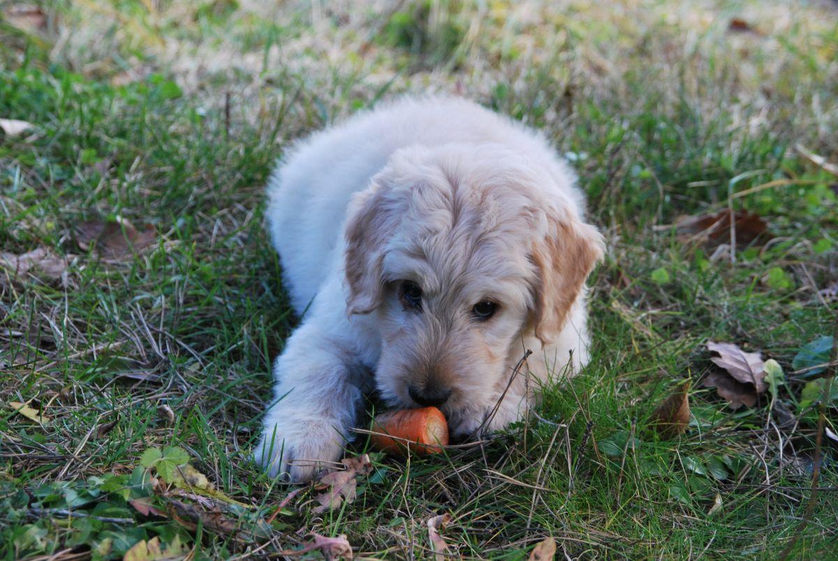 Los perros no deberían volverse veganos por la falta de una vitamina