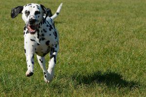 Las razas de perros inadecuadas para ser tu primera mascota