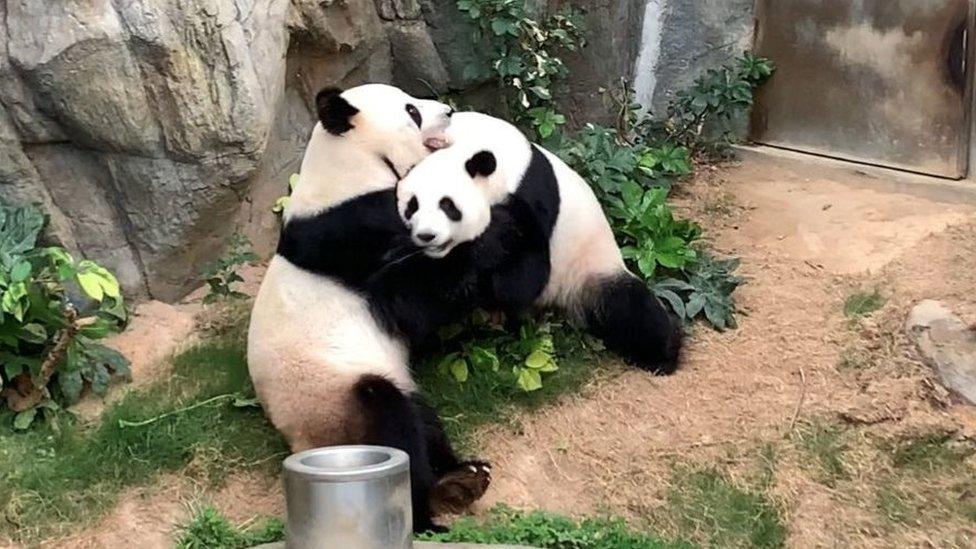 Luego de 10 años intentándolo, pareja de pandas logra aparearse en un zoo gracias a la cuarentena