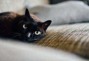 En Vietnam venden pasta hecha con gatos negros que aseguran es la cura contra el coronavirus
