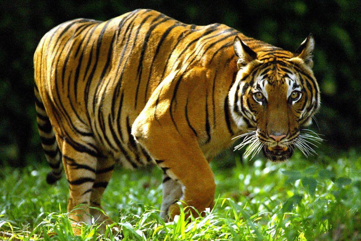 Tigre malayo.