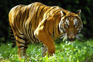 Tigre del zoológico de El Bronx da positivo de coronavirus
