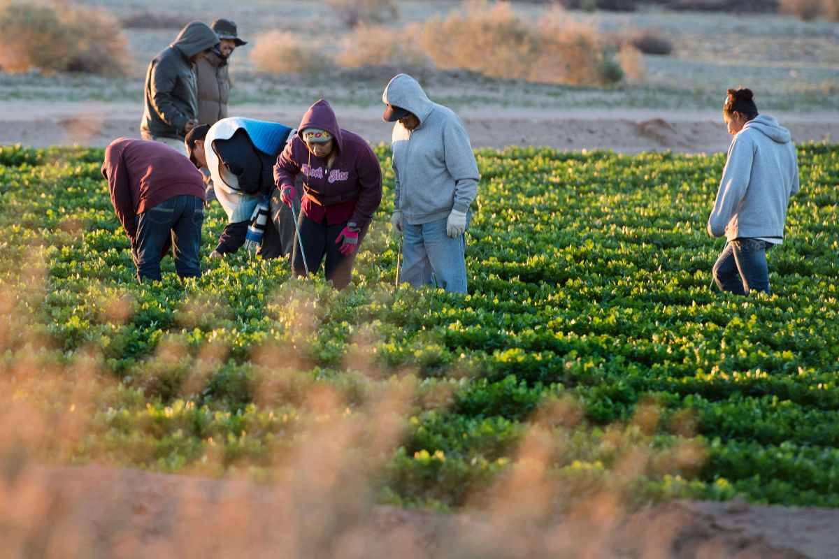 Muchos trabajadores latinos trabajan en la agricultura.
