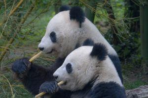 Dos pandas se aparearon después de 10 años tras cierre de zoológico por coronavirus