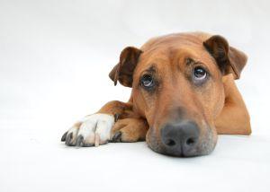 """Los síntomas de un perro """"triste"""" y cómo ayudarlo"""