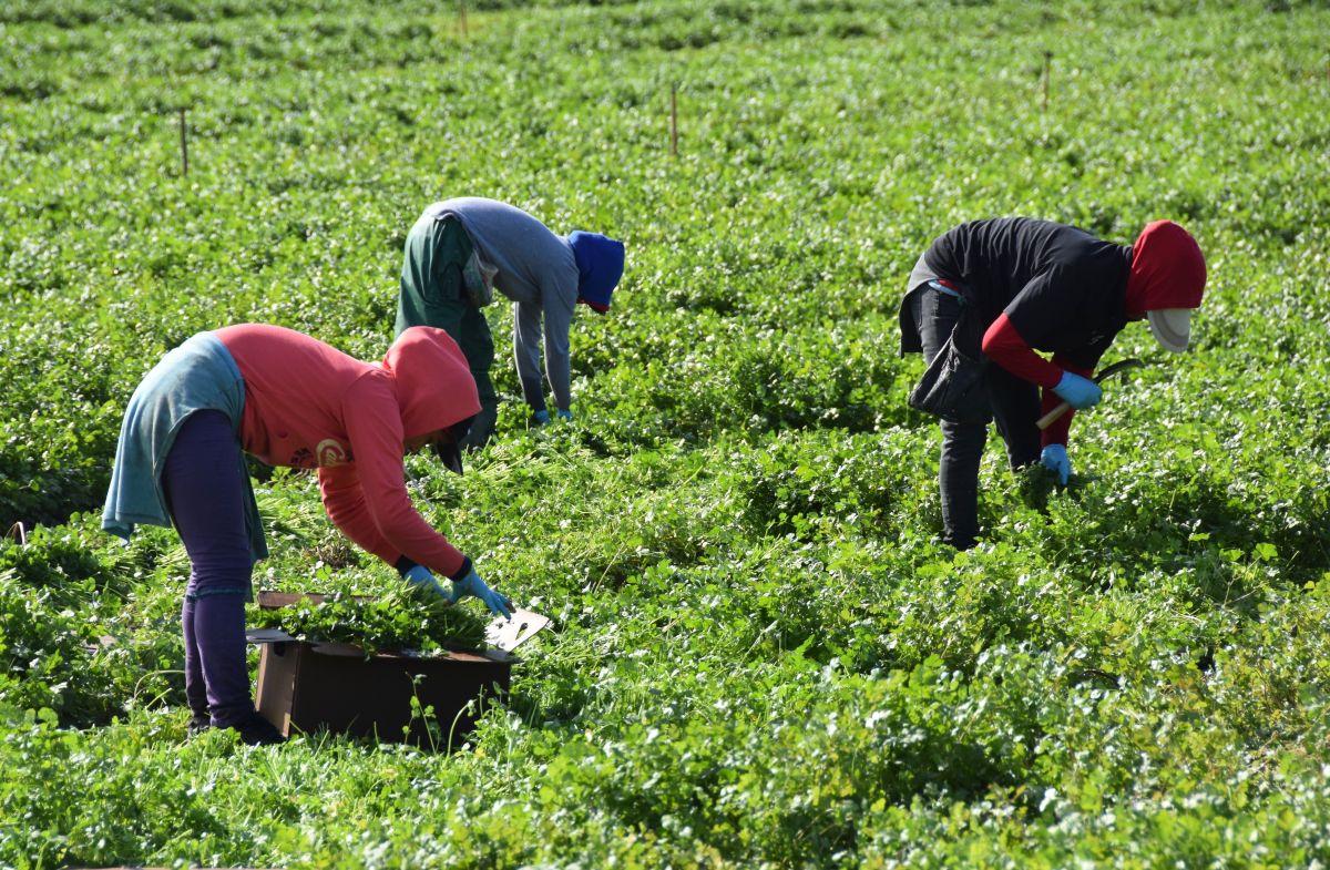 Si te ofrecen un trabajo en cosecha en California y una visa para Estados Unidos de $500 dólares, puede ser una estafa