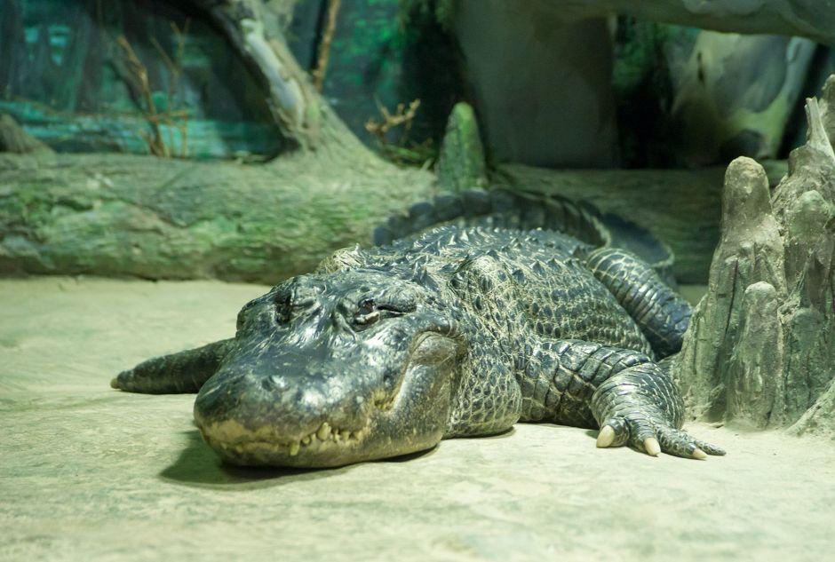 Muere en Rusia Saturno, el caimán que fue mascota de Hitler