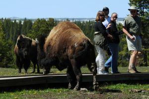 Bisonte ataca a una mujer en el Parque Nacional Yellowstone poco después de la reapertura del lugar