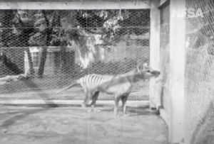 """Aparece filmación del """"último"""" tigre de Tasmania"""