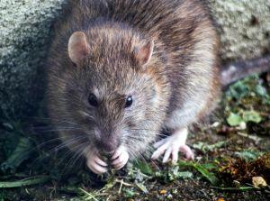 Hallan ratas contagiadas de coronavirus en restaurantes de Vietnam