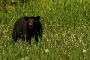 Ofrecen recompensa por caso de osos mutilados en North Carolina