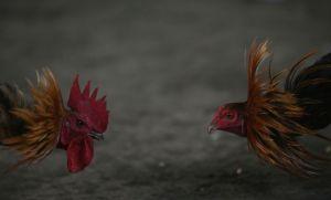 Gallo de peleas mata a policía durante redada