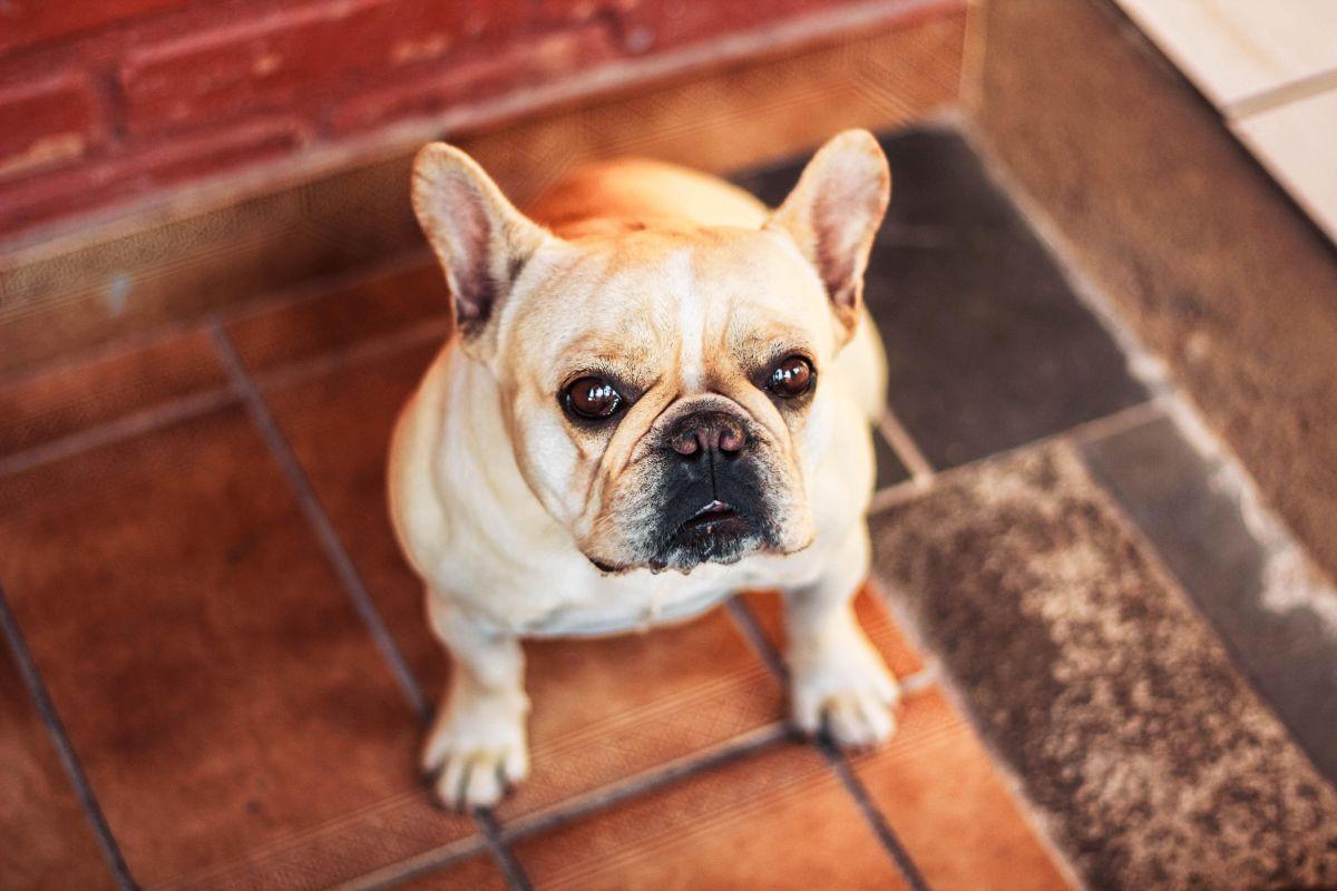 Perro French bulldog. Imagen ilustrativa.