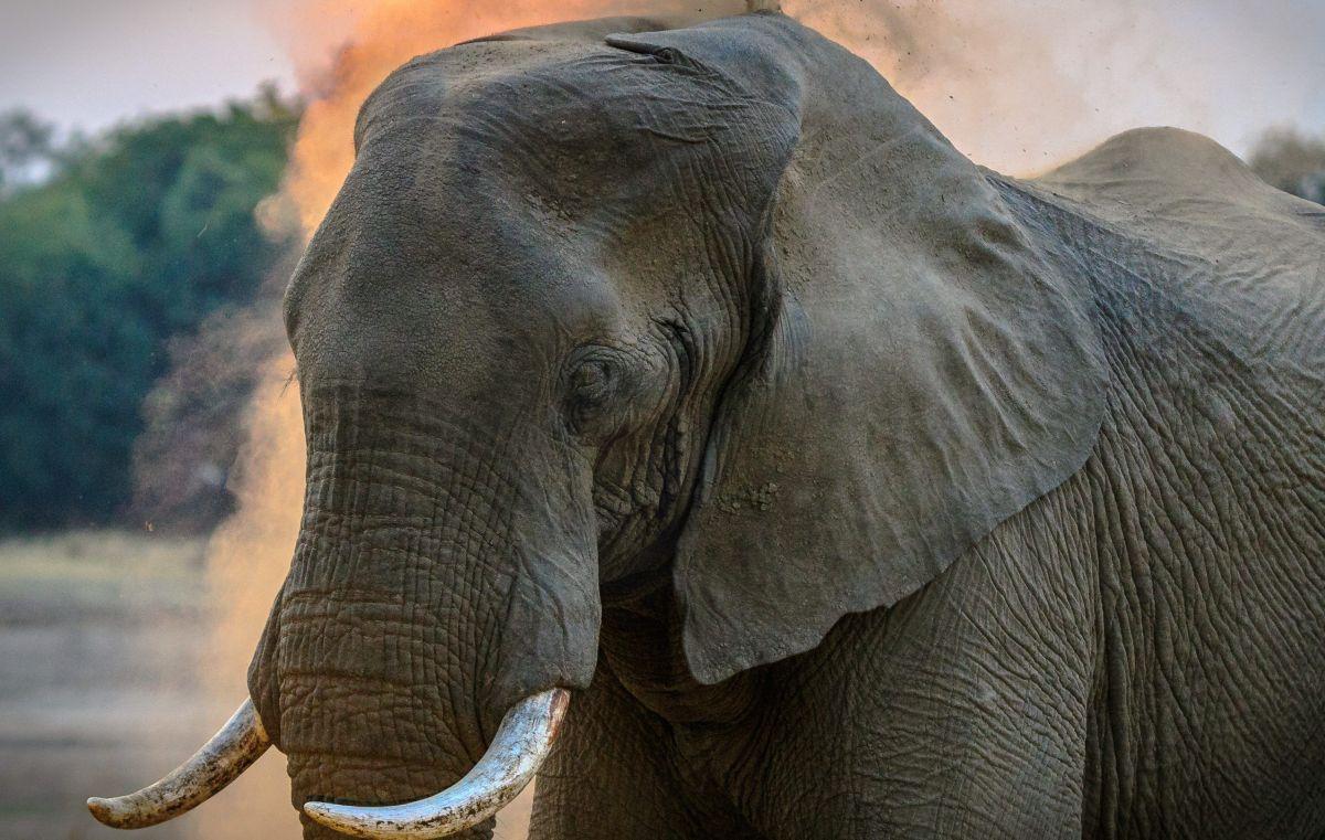 El elefante se ha vuelto un atractivo turístico.