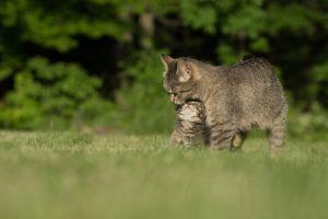 Causa sensación en Internet gato que llevó a su cría herida al hospital