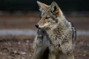 """Las controvertidas """"bombas de cianuro"""" que EE.UU. usa para matar decenas de miles de animales salvajes"""