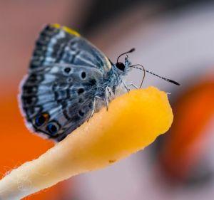Flores de Gatorade para salvar a la mariposa Miami Blue