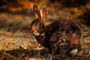 """Inquieta virus """"altamente contagioso"""" en conejos de Estados Unidos"""