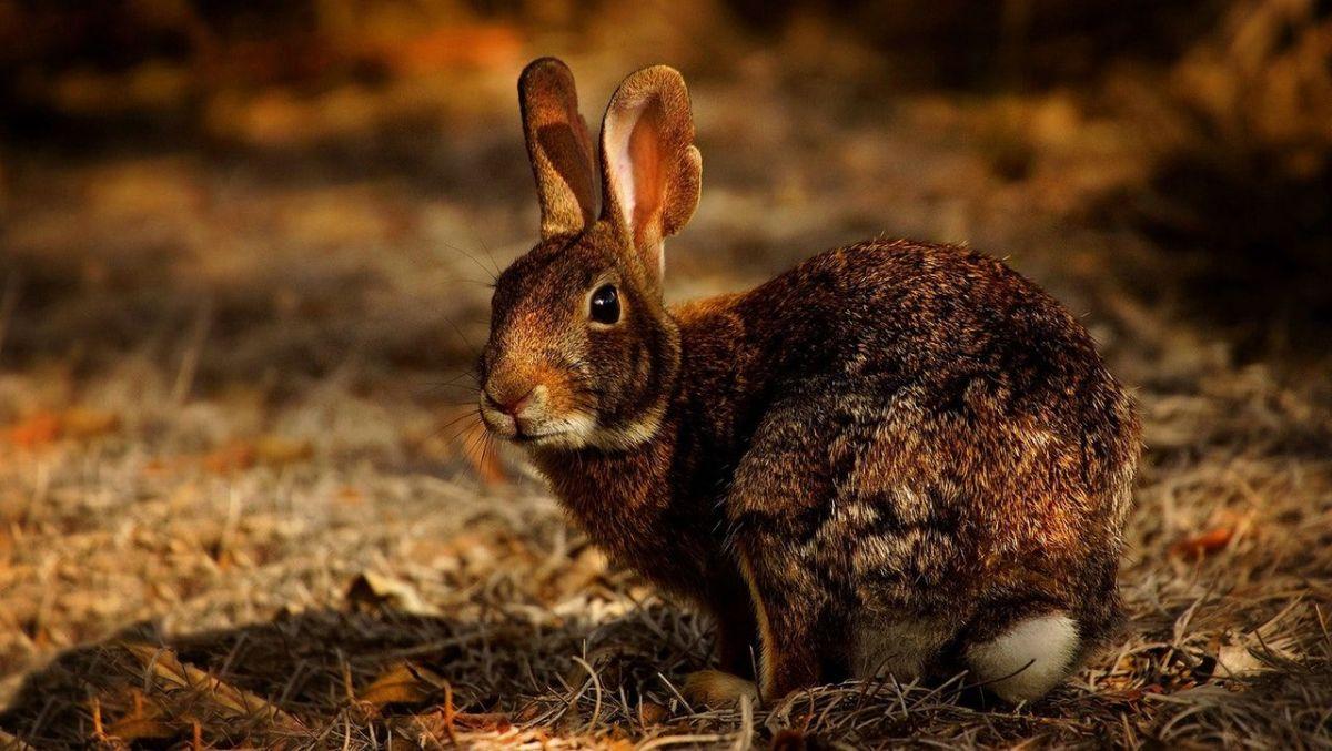El conejo es de una raza especial.