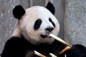 La denuncian por pasear a un panda por la calle, pero todo se trató de una tremenda confusión