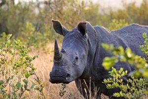 El momento en el que un grupo de turistas se libran de ser atacados por un rinoceronte en Tanzania