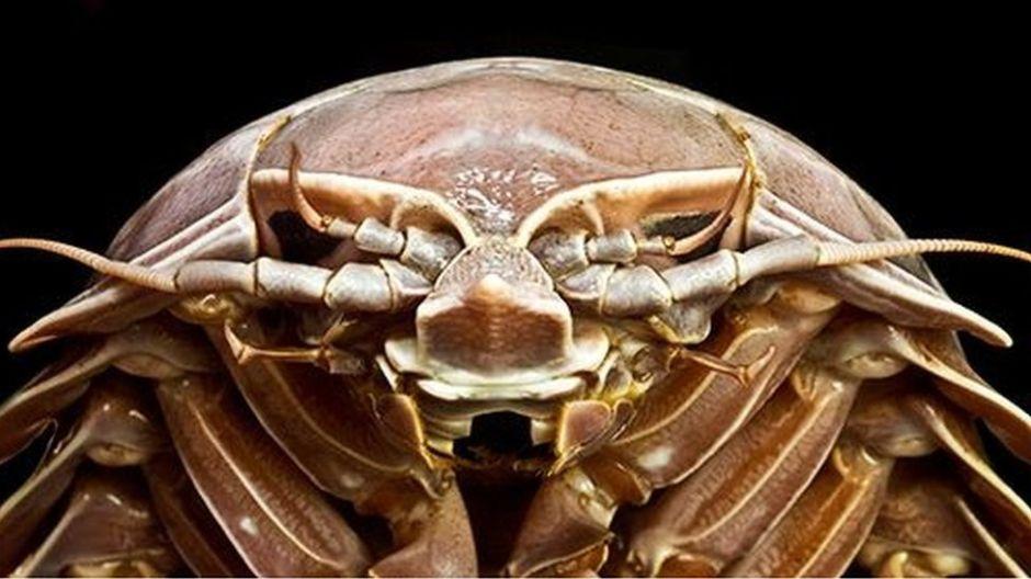 """La gigantesca """"cucaracha"""" descubierta en el fondo del mar"""