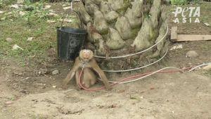 Destapan explotación de monos por parte de empresas que producen leche de coco