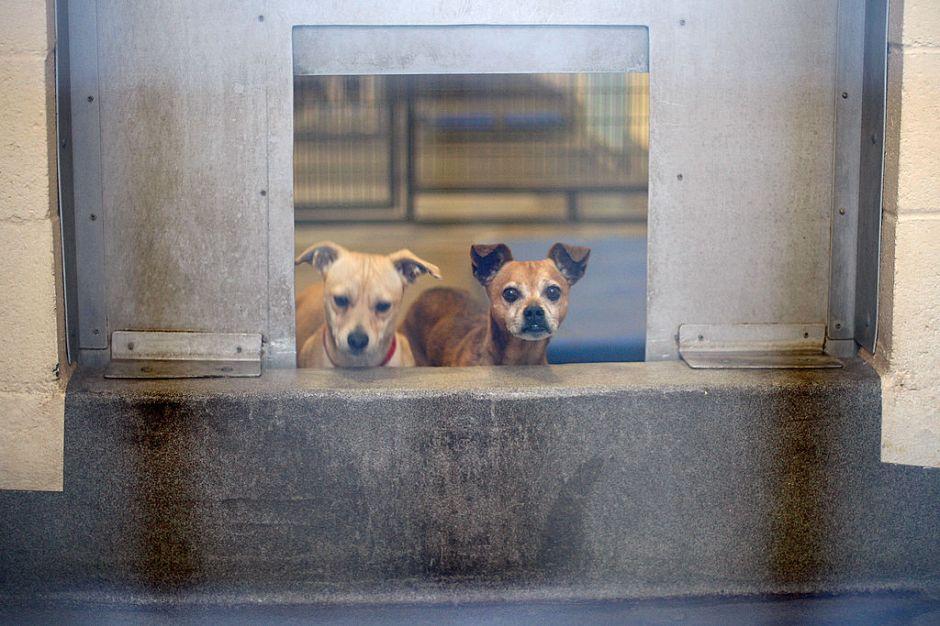 Lanzan campaña de adopción de perritos a través de streaming