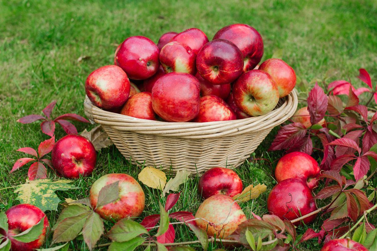 ¿Cómo elegir las mejores y más frescas manzanas?