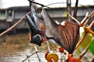 Los murciélagos se aíslan del resto cuando enferman