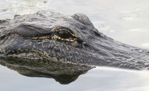 Graba el momento en que es atacado por un cocodrilo mientras paseaba en un kayak