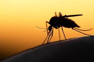 ¿Pueden los mosquitos contagiar coronavirus?