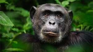 Cómo los chimpancés ayudaron a restaurar una selva tropical completamente diezmada hace 2,500 años