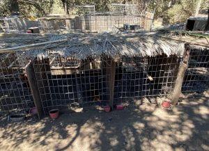 Encuentran casi 3,000 gallos de pelea ilegales tras orden de allanamiento ejecutada en California