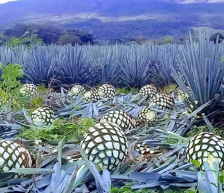 Some blue agave pineapples from the crops in El Arenal