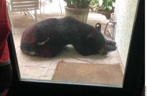 "Causa indignación aparente castración de oso negro ""sociable"" de Nuevo León"