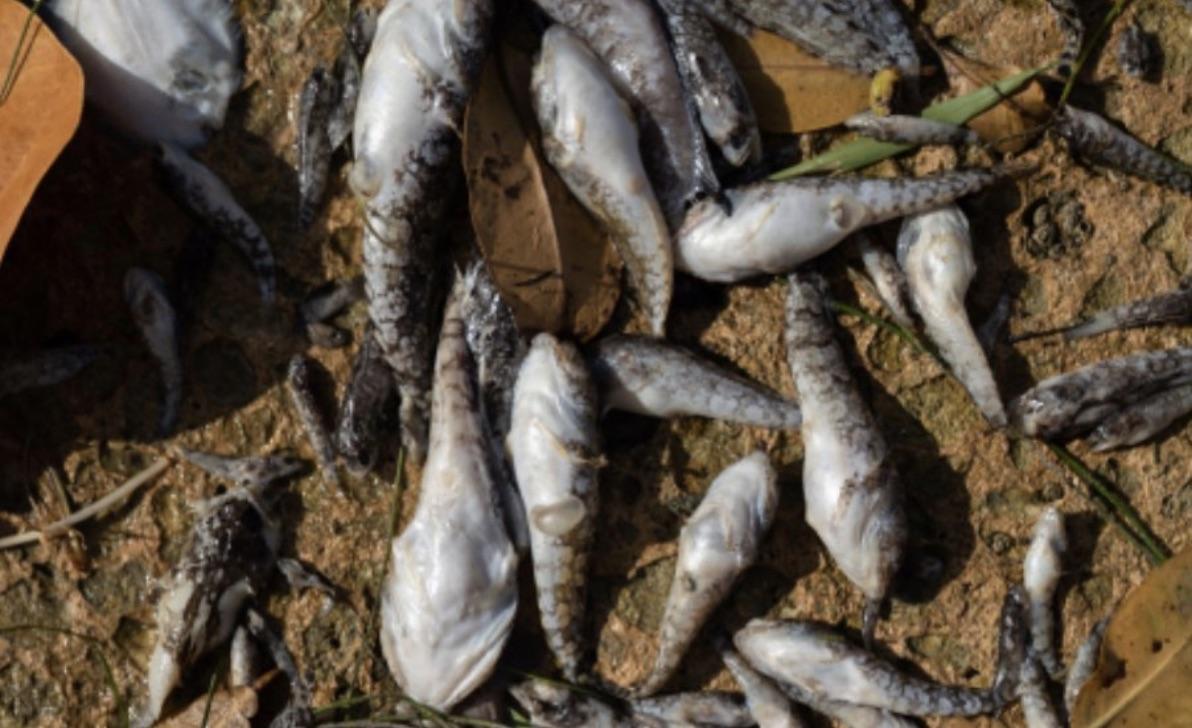 Una muestra de los peces que han aparecido muertos en las aguas de Miami.
