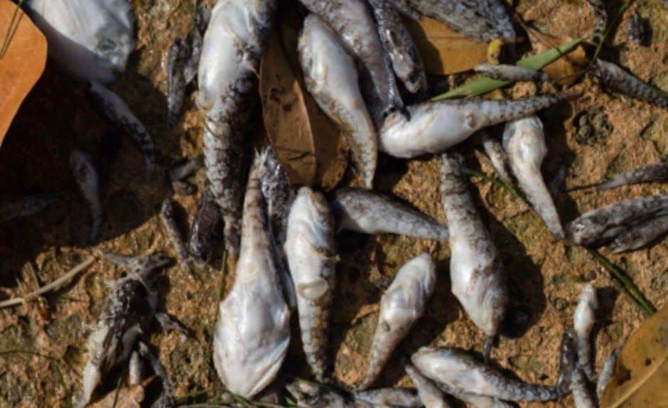 Miles de peces muertos en Miami por el uso ilegal de fertilizantes: ¿Es peligroso para los humanos?