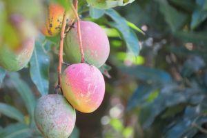 Descubre el poder curativo del té de hojas de mango