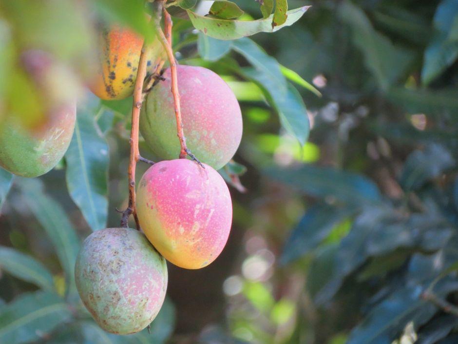 Discover the healing power of mango leaf tea