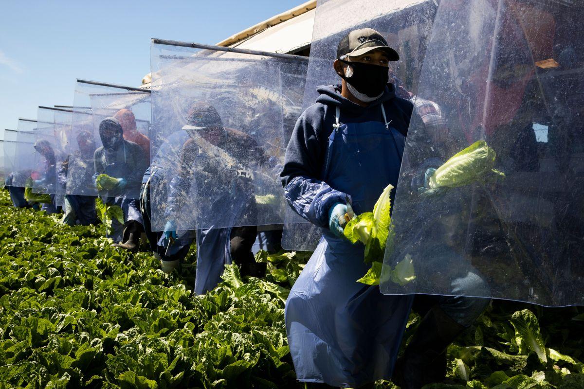 Trump los ataca, pero 43% de los trabajadores agrícolas y de alimentos son indocumentados