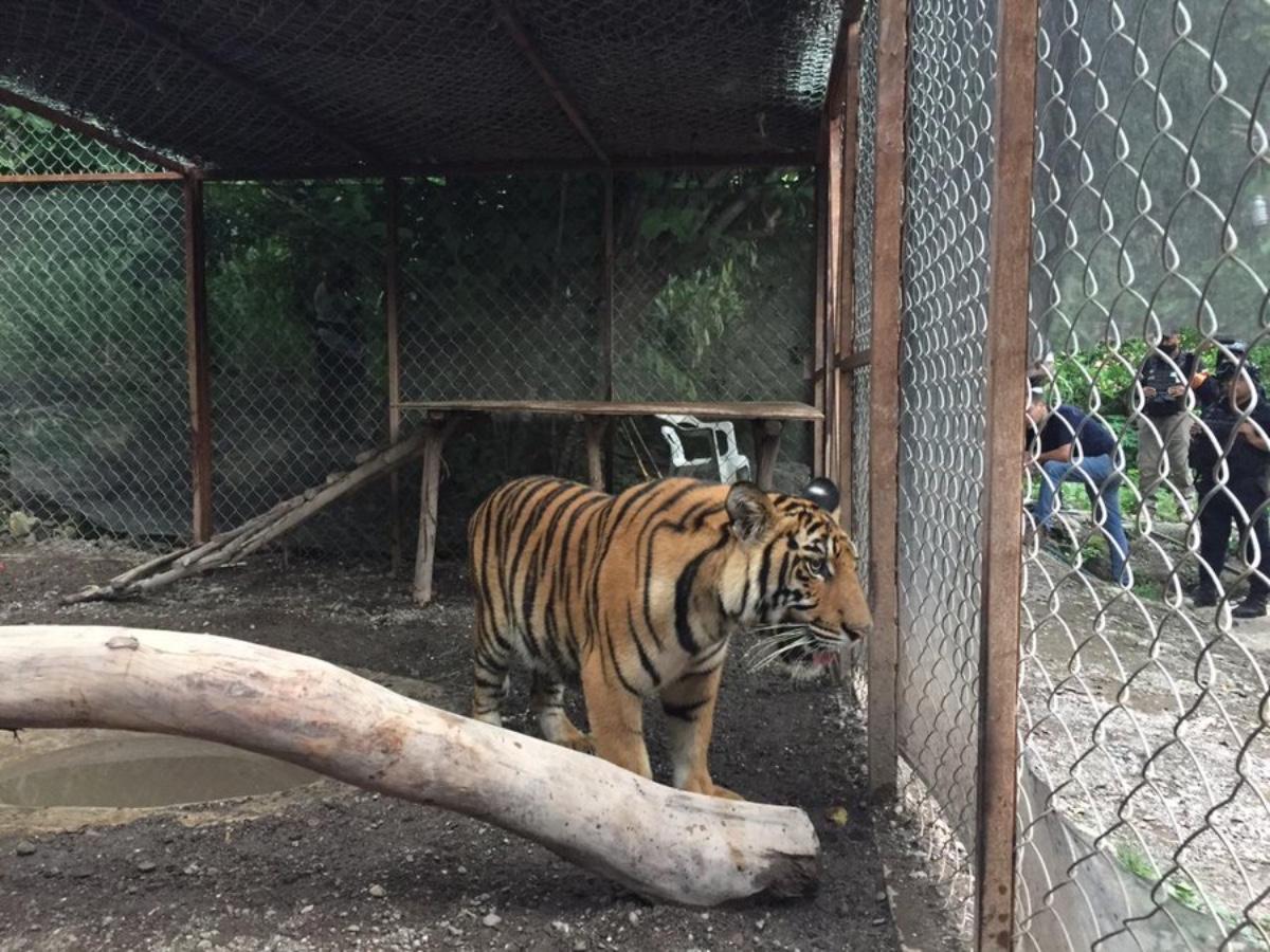 Tigre de narco Familia Michoacana