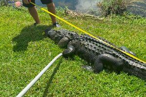 Un caimán muerde a una mujer de Florida mientras podaba unos árboles