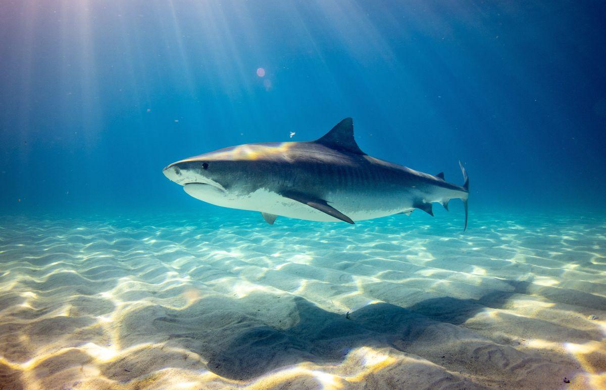 Tiburón cerca de una costa.
