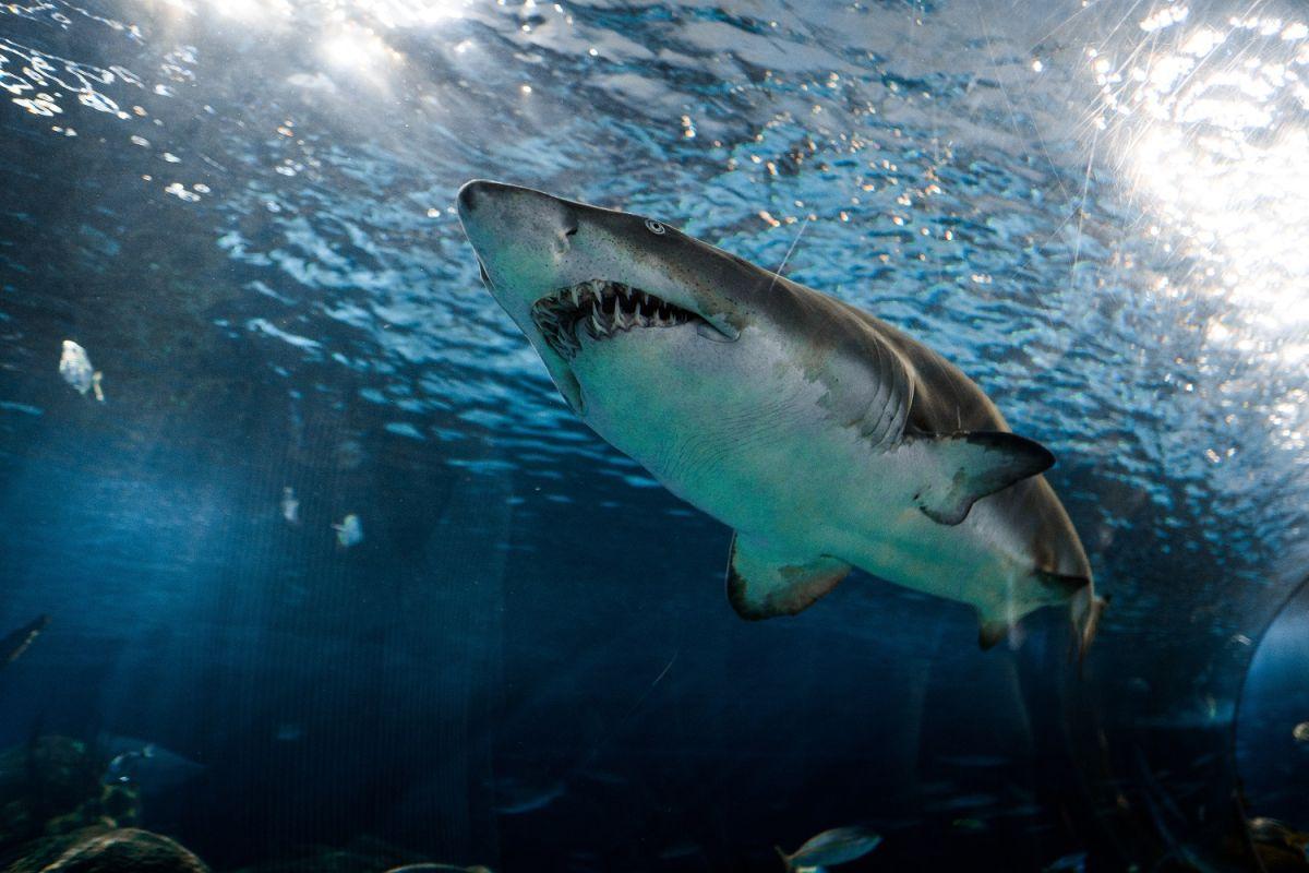 El aceite del hígado de tiburón es utilizado en la vacuna experimental contra el COVID-19.