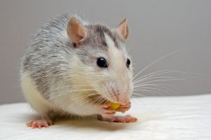 Le arrancó a mordiscos el pene a su marido tras discutir por una rata